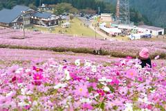 DSC_6743.jpg (d3_plus) Tags: street sky flower nature japan scenery outdoor bloom  streetphoto toyama    cosmos  johana j4 piste flowergarden nanto         nikon1    1nikkorvr10100mmf456 1 nikon1j4  yumenodairaskiarea