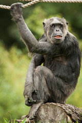2014-09-14-13h41m46.272P0892 (A.J. Haverkamp) Tags: germany zoo magdeburg chimpanzee duitsland dierentuin chimpansee karlchen pobmnstergermany maagdenburg canonef500mmf4lisiiusmlens httpwwwzoomagdeburgde dob18111979