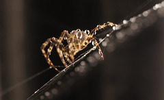 Looking For A Kiss (Coquine!) Tags: closeup spider droplets spiderman spinne wassertropfen tropfen christianleyk