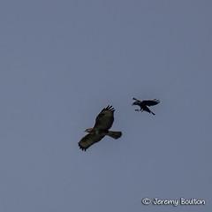 Mobbing (JKmedia) Tags: sky bird nature birds canon jack inflight wildlife crow distance avian birdofprey mobbing ef100400mmf4556lisusm buzzaed canoneos7d boultonphotography
