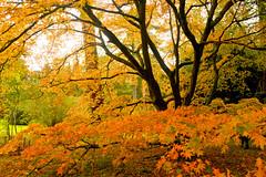 WESTONBIRT COLOUR (chris .p) Tags: uk autumn england nikon october colours arboretum cotswolds gloucestershire westonbirt gb 2014 d610