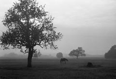 autumn horse (.e.e.e.) Tags: autumn horse tree film field grass fog analog explore pasture m42 vintagecamera analogue grazing filmscan agfaapx100 agfaphoto carlzeissjenatessar2850 kodakxtoldeveloper pentaconzi epsonv350photoscanner