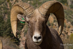 Bighorn sheep head on