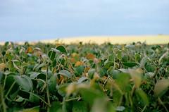 (toulouse goose) Tags: fall film field 35mm canon eos kodak farm harvest 400 portra soon soybeans elan7 ef50mm18 fuzzylittlepods