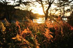 Golden fern leaves. (shig.) Tags: sunset plants sun sunlight plant sunshine canon eos gold golden dusk sunbeams goldenleaves 70d