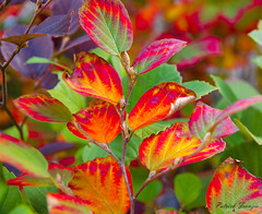 Fall color (patrickfranzis) Tags: color fall leaves connecticut yale tamron franzis tamronspaf1750mmf28xrdiiildasphericalif milfordphoto