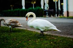 Swan (bewiePhotography) Tags: salzburg swan nikon weiher d5100