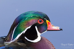 Colorful close up of a wood duck drake.