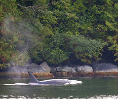Orca surfacing beside rocky shore (Paul Cottis) Tags: canada dolphin 14 vancouverisland tofino whale orca killerwhale
