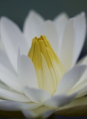White water lily (billcoo) Tags: plant flower bokeh explore pure