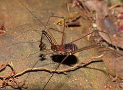 Unicorn Harvestman (Epedanidae) (berniedup) Tags: sarawak malaysia harvestman mulu epedanidae taxonomy:family=epedanidae