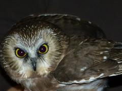 Northern Saw-whet Owl #5 (quadceratops) Tags: nature saw farm massachusetts owl mass northern audubon drumlin banding whet 14hawks8owls 14h8o