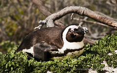 DWI_4986 (DWImages-Daniela White) Tags: africa wild bird nature southafrica penguin coast wings eyes natural outdoor african wildlife south beak feathers southern coastal western mating cape aquatic habitat interaction bouldersbeach spheniscus