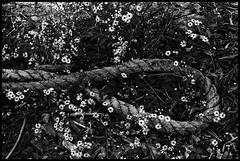 Rope (Lens Bubbles) Tags: blackwhite sony f45 a7 75mm wollensak raptar enlarging