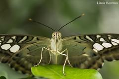 Butterfly nr 3 (lindabosmuis) Tags: macro canon butterfly garden utrecht 100mm botanic tuin vlinder 6d botanische