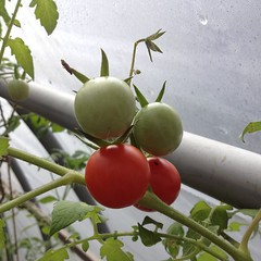 "It feels like mid-October in New England today, but the plants inside the hoop house are warm and happy thanks to a little afternoon sunshine. Somehow, harvesting ripe heirloom tomatoes this time of year seems like an amazing gift!  #garden #heirloom #tom • <a style=""font-size:0.8em;"" href=""http://www.flickr.com/photos/54958436@N05/15507957565/"" target=""_blank"">View on Flickr</a>"