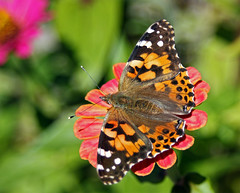 A Painted Lady Butterfly On A Zinnia (TomIrwinDigital) Tags: ontario burlington butterfly insect zinnia paintedlady