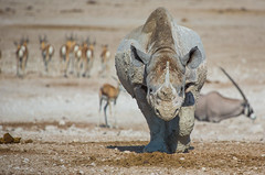 Etosha wild Rhino (lucien_photography) Tags: africa park travel wild nature animal animals canon southafrica african wildlife safari national rhino 5d namibia rhinoceros etosha afrique namib namibie markiii wildifephotography canon5dmarkiii 5dmarkiii