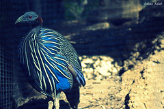 Shades of Blue (baby_joker1491) Tags: birds animals zoo pentax dslr forestpark imsorry redeyes goodeatin pentaxkx lustforlife saintlouiszoo birdsanimals imjusthungry photographoftheday like4like tastelikefriedchicken