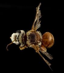 Chrysocolletes, m, australia, back_2014-10-11-16.32.50 ZS PMax (Sam Droege) Tags: oz bees australia bee continent usgs downunder wavyhair droege biml usgsbiml taxonomy:genus=chyrsocolletes collectidae chyrsocolletes