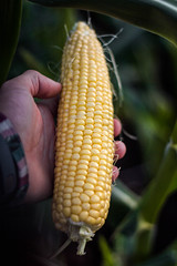Sweetcorn (harrynesbitt) Tags: vegetables garden corn cob maize sweetcorn