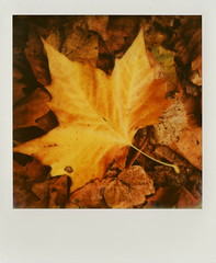 Nature's Magical Colour (Joep Polaroid Photography) Tags: autumn fall netherlands instant slr680 bruch nofilter impossible 600film polaroidweek roidweek intergral joepimpossiblephotography joepgottemaker filmfor12price