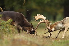Fallow Deer Rutting (Daniel Trim) Tags: park autumn london nature animals action wildlife battle richmond deer fighting mammals fallow dama bushy rutting