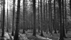 Code barre naturel 2 (Pedropicco) Tags: trees light bw forest soleil lumire nb arbres rays fort rayons