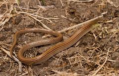 Lined Delma (Delma impar) (Brendan Schembri) Tags: lizard lined delma legless impar pygopod brendanschembri