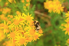 Another bee on ragwort - 'Explored' (Cefn Ila (Thanks for one million views)) Tags: yellow bee bumblebee bombus elanvalley seneciojacobaea