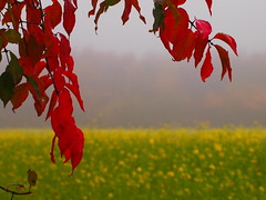 red leaves before the rapefield PB098991 (hlh 1960) Tags: november red mist rot nature leaves yellow misty germany landscape colours nebel forrest natur feld gelb fields landschaft wald blätter farben rapeseed rapsfeld novemberblues