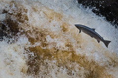 Salmon jumping (Forgotten2000) Tags: