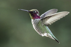 Anna's Hummingbird (Bob Gunderson) Tags: annashummingbird birds california calypteanna hummingbirds missiondistrict northerncalifornia sanfrancisco canoneos7dmarkii flying flight