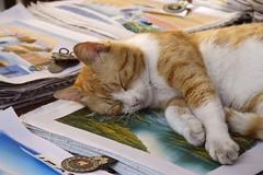 La belle vie ! (The good life!) (Larch) Tags: pet animal shop cat chat sleep greece boutique crete grce sommeil flin rethymno rethymnon crte