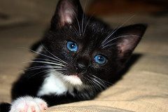 Cute Tuxedo Cat (hameed.asim) Tags: pictures wallpaper cute cat images tuxedo hd
