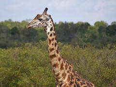giraffe (mariya_ka) Tags: giraffe masaimara
