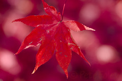 Final Fall #4 (Pete Foley) Tags: ohio red stilllife leaves cincinnati japanesemaple mtairy tistheseason flickrsbest mtairyforest overtheexcellence petefoley petefoleyphotography