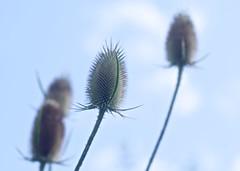Dipsacus fullonum (chrisotruro) Tags: flowers blue summer sky plant green nature backlight vintage garden spiky bokeh august sharp backlit 90mm spiny contrejour f35 sharpness meyeroptik telefogar
