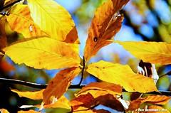Beech Leaf (Paul's Captures (paul-mashburn.artistwebsites.com)) Tags: fallleaves leaves leaf fallcolor blueridgeparkway beechleaves beechleaf