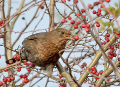 Female Blackbird With Berry (Osgoldcross Photography) Tags: autumn trees bird nature interestingness interesting nikon raw berries feeding reserve naturalhistory explore perch perched twigs bushes blackbird redberries foraging rspb explored femaleblackbird rspboldmoor nikond7100 givenatureahome