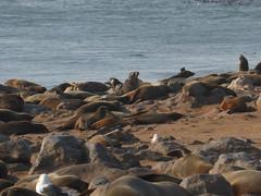 africa namibia animali vacanze skeletoncoast otaria 20140826