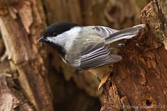 Black-capped Chickadee (Doug Scobel) Tags: chickadee kensington blackcapped metropark poecile atricapillus