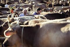 At a glance. (Markus Moning) Tags: schweiz switzerland kuh cow cattle cows swiss landwirtschaft agriculture khe moning vieh viehschau schau oberegg markusmoning appenzellinnerrhoden