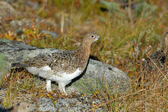 Willow Ptarmigan, Montana Mountain, Yukon. 12 Sept 2013 (Cameron Eckert) Tags: wild canada color colour bird nature beauty birds animal outside bill pattern natural outdoor wildlife awesome north birding flight wing beak feathers conservation biosphere yukon wilderness migration delicate northern habitat pure graceful ornithology birdwatching birder avian ecological ecosystem biodiversity avifauna birdwatcher