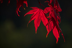 Reds Lineup (Carl's Captures) Tags: november autumn sunset red tree fall nature crimson leaves backlight outdoors evening leaf maple dof bokeh minimal foliage acer curtains glowing drapes goldenhour curtaincall cincinnatiohio tamron18270 nikond5100 lightroom5