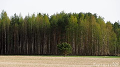 All of them in front of me... (Hopeasuo) Tags: all them tree forest alone suomi field finland spring