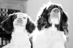 And butter wouldn't melt ! (TrevKerr) Tags: dogs puppy portrait springerspaniels nikon d7000 nikon85mmf18 monochrome blackandwhite bw
