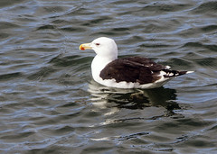 Great Black-backed Gull (1) (grahamh1651) Tags: newlyn tolcarne gulls divers waders