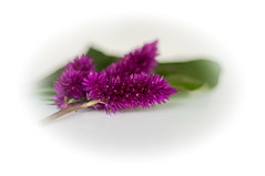Gilla lila (Algots) Tags: gillalila fs180935 fotosondag