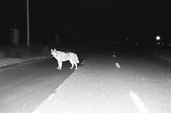 (Benz Doctolero) Tags: rural bts bw black white monochrome kodak trix 400 california set movie animal canon t50 50mm road